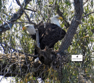 two-eagles-photo-by-patty-gates