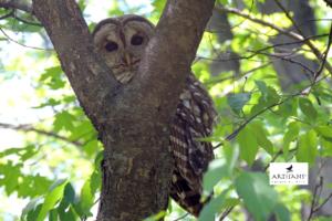 owl-in-tree-photo-by-patty-gates