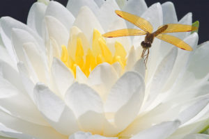 Dragonfly On WaterLily By Dean Chriss