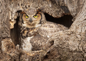 Great Horned Owl Nest by Dean M. Chriss